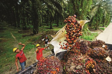 Workers load a truck with palm oil fruit. Much of the fruit is grown on independent farms and processed at a central mill.