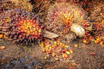 crude palm