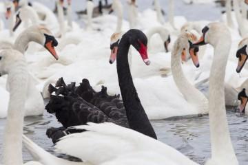 cigno-nero-black-swan-1080x675