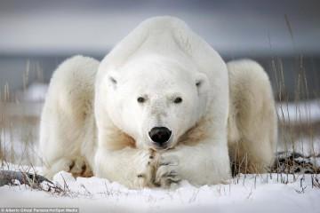 bear contemplating