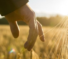 Businessman reaching down with his finger and gently touching an ear of ripe golden wheat in a field wheat at sunrise backlit by the golden sun, closeup of his hand.
